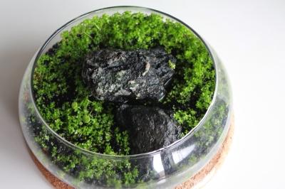 キューバパールグラス水上葉