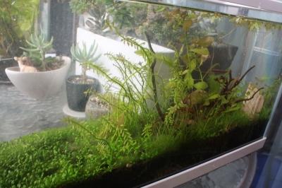緑藻減った水槽