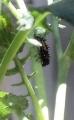 grub-ladybird