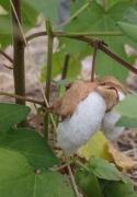 会津和綿の綿花