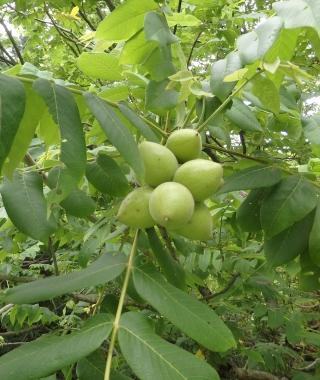 胡桃の木になる青胡桃