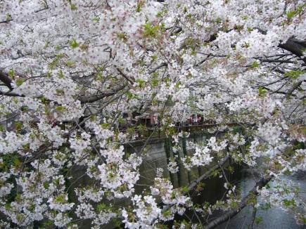 桜(2010年)