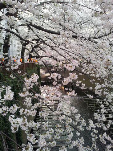 桜 2013年