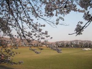 サッカー場の桜