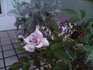 雨の中佇む紫の薔薇の人