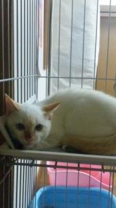 里親募集集 白子猫