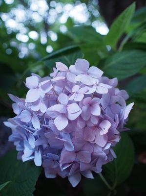 紫陽花 OLYMPUS E-PL5