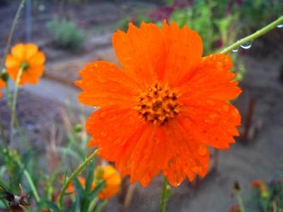 コスモス 雨 オレンジ