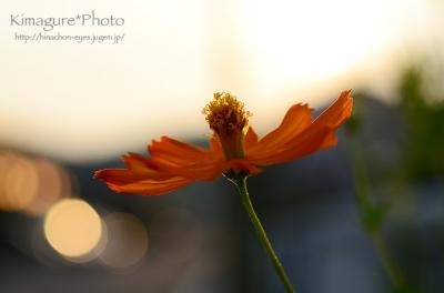 オレンジの花 丸玉