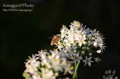 ミツバチ きまぐれ*Photo