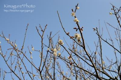 梅の花 きまぐれ*Photo