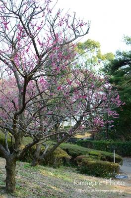 梅の花? きまぐれ*Photo