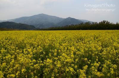 菜の花畑 大洲市五郎 きまぐれ*Photo