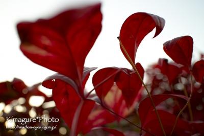 紅葉 きまぐれ*Photo