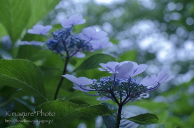 紫陽花 きまぐれ*Photo