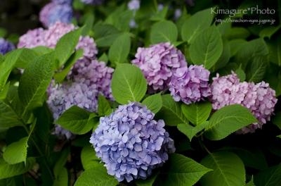 紫陽花 松山総合公園