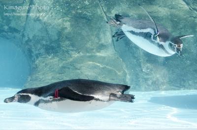 とべ動物園 ペンギン01