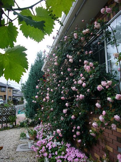 ブドウ棚からの薔薇