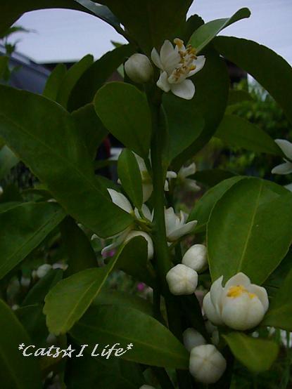 シークーワーサーの花