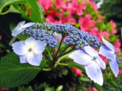 紫陽花、五月