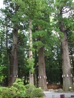 河口浅間神社の七本杉