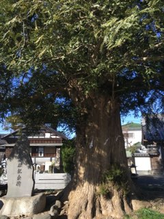 石田寺のカヤ
