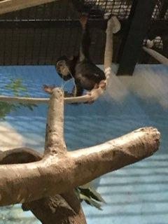 チンパンジーハル