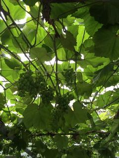 ココ・ファーム・ワイナリーの葡萄