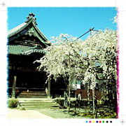 行福寺の桜 1