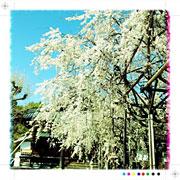 行福寺の桜 2