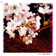 洲原公園の桜 1