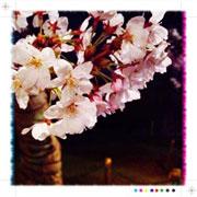 洲原公園の桜 2
