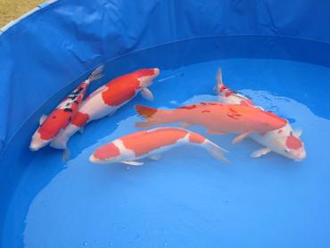 群馬県錦鯉紅白・三色