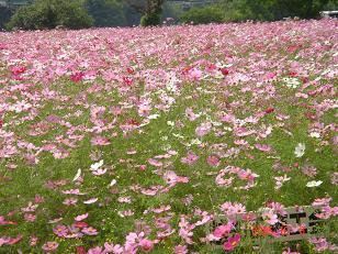 赤、白、ピンク色の美しいコスモス畑