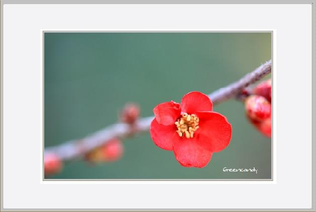 ボケの花ー5.jpg