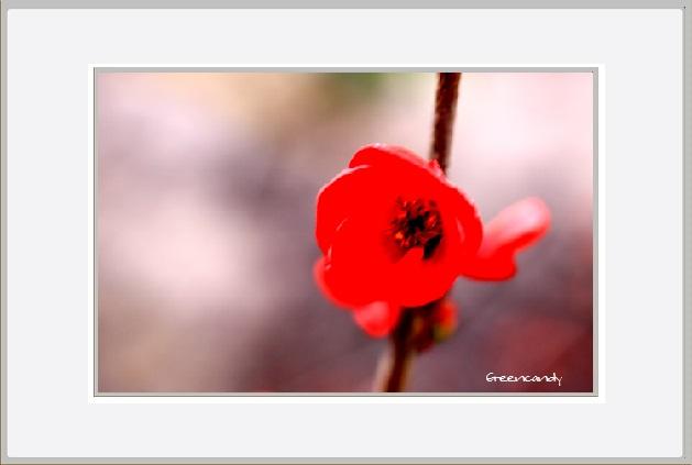 ボケの花ー7.jpg