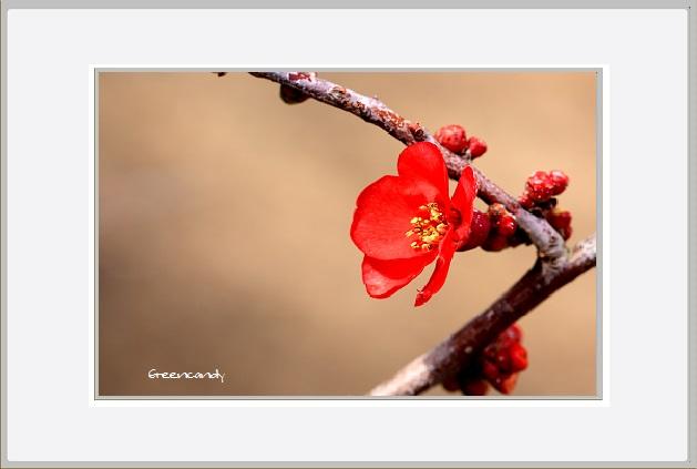 ボケの花ー8.jpg