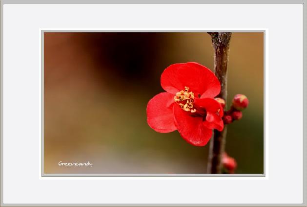 ボケの花ー6.jpg