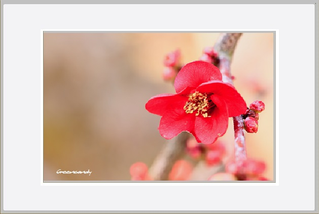 ボケの花ー13.jpg