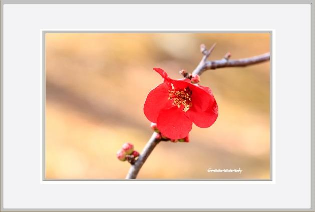 ボケの花ー14.jpg