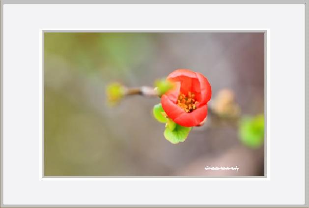 ボケの花ー18.jpg