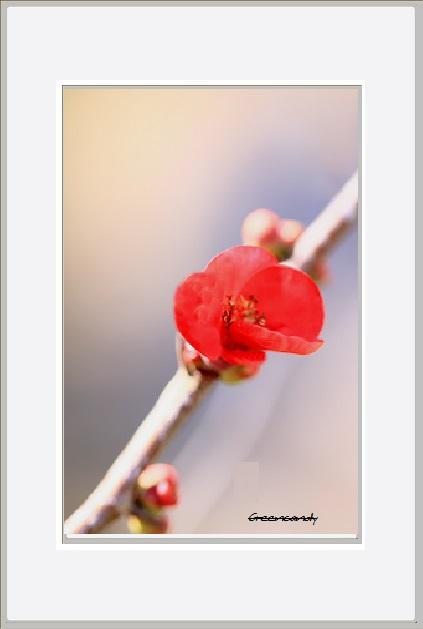 ボケの花ー16.jpg