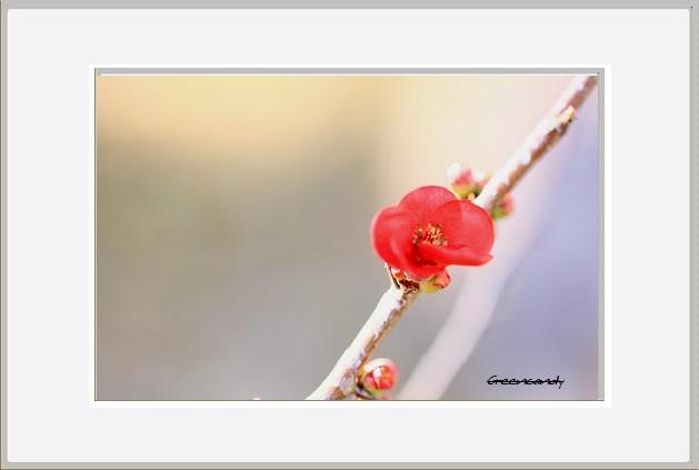 ボケの花ー17.jpg