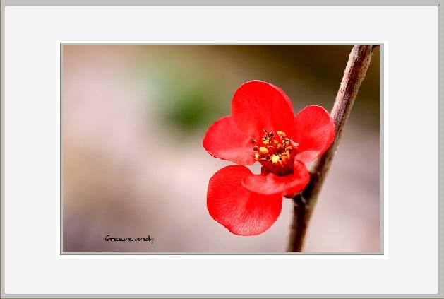 ボケの花ー9.jpg
