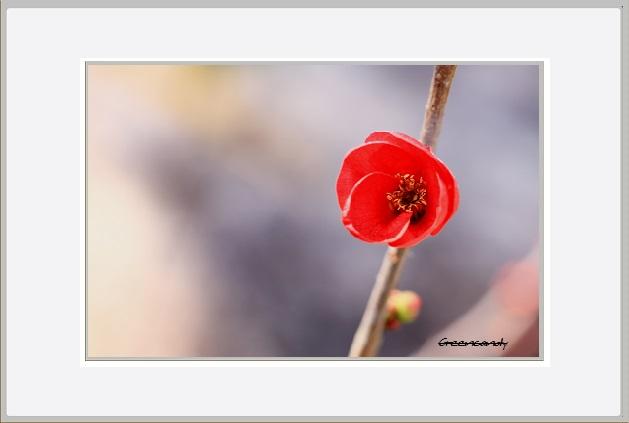 ボケの花ー12.jpg