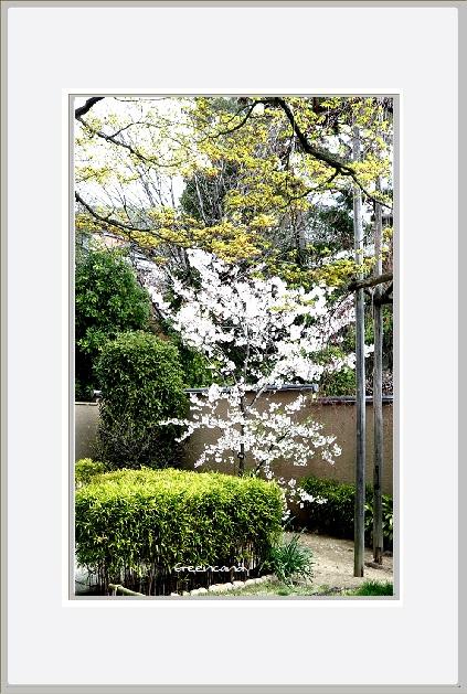 御影の桜ー4.jpg