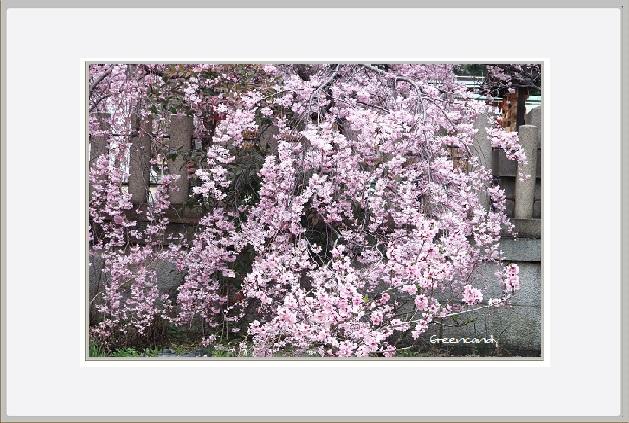 御影の桜−2.jpg