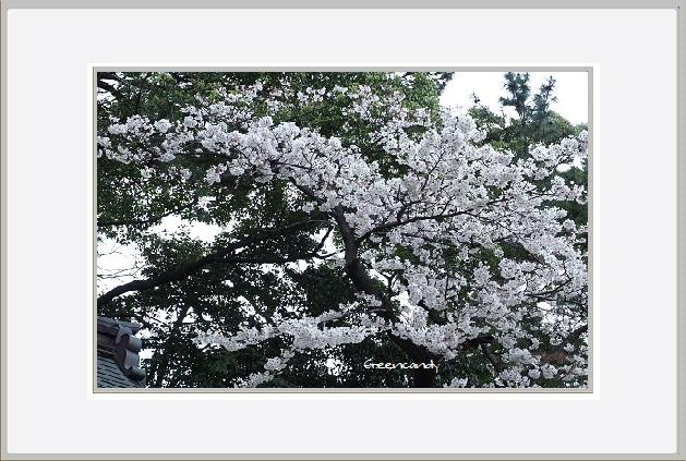 御影の桜ー2.jpg