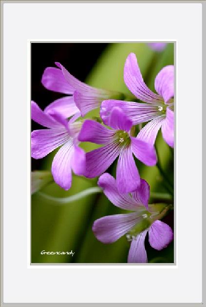 紫陽花ー6.jpg