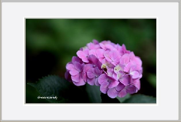 紫陽花ー3.jpg